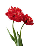 Bouquet of red terry, multilobal tulips isolated Stock Image