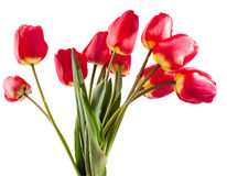 Bouquet of red tulips. On a white background Stock Photography