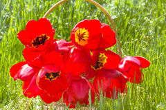 Bouquet of red tulips in a basket, backlit Royalty Free Stock Images
