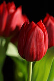 Bouquet of red Tulips. Beautiful bouquet of red Tulips Royalty Free Stock Images