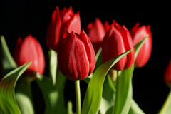 Bouquet of red Tulips. Beautiful bouquet of red tulips on black background Stock Image