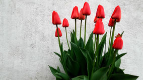 Bouquet of red tulips. Buds Royalty Free Stock Image