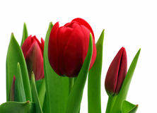 Bouquet of red tulips close-up Stock Photos