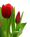 Bouquet of red tulips close-up Stock Images