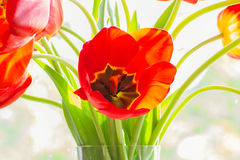 Bouquet of red tulips close up, backlit Royalty Free Stock Photography