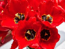 Bouquet of red tulips close-up, top view_ royalty free stock photos