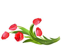 Bouquet of red tulips and drops of dew. Royalty Free Stock Photo