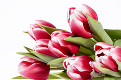 Bouquet of red tulips  flowers isolated on white background Stock Image