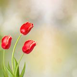 Bouquet of red tulips with green leaves Royalty Free Stock Image