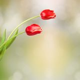 Bouquet of red tulips with green leaves Stock Photography