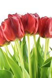 Bouquet of red tulips with green leaves isolated Stock Images