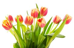 Red tulips isolated on white background Stock Images
