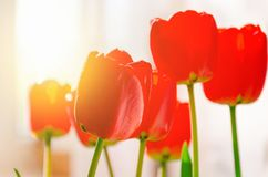 Bouquet of red tulips in the room lit by the sun stock photography