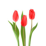 Bouquet of red tulips. Three red tulips on a light background Stock Photo