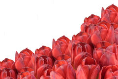Bouquet of red tulips on the white background isolated Royalty Free Stock Photo