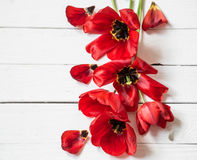 Bouquet of red tulips on white wooden background, Stock Images