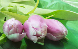 Bouquet from red and white tulip. With green sheet rests upon table Royalty Free Stock Photo