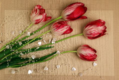 A bouquet of red and white tulips5. Bouquet of red with white tulips on a beige background Royalty Free Stock Photos
