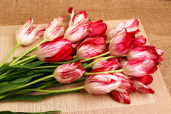 A bouquet of red and white tulips6. Bouquet of red with white tulips on a beige background Royalty Free Stock Images