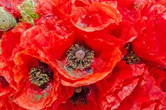 Bouquet of red wild flowers of Papaver rhoeas close up Stock Photos