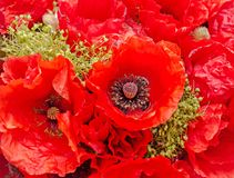 Bouquet of red wild flowers of Papaver rhoeas close up Stock Photo