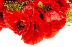 Bouquet of red wild flowers of Papaver rhoeas close up corn pop. Py, corn rose, field poppy, isolated on white background Stock Photos