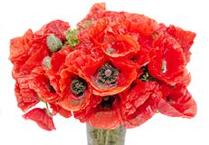 Bouquet of red wild flowers of Papaver rhoeas close up Stock Photography