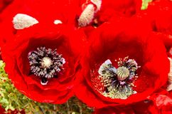 Bouquet of red wild flowers of Papaver rhoeas, corn field poppy Stock Photography