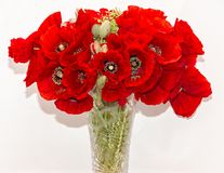 Bouquet of red wild flowers of Papaver rhoeas, corn field poppy Royalty Free Stock Images