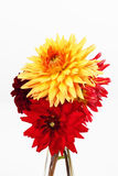 Bouquet of red yellow dahlias on white background Royalty Free Stock Photos