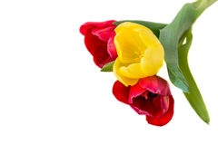 Bouquet of red and yellow tulips.  Stock Photography