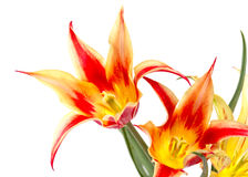 Bouquet of red yellow tulips Stock Photo