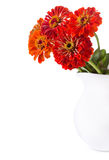 Bouquet of red zinnia flowers in a jar Stock Images