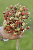 Bouquet of ripe wild strawberry. On a dim background Royalty Free Stock Images