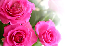 Bouquet of rosa roses. Isolated on white background Royalty Free Stock Photography