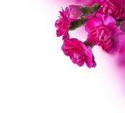 Bouquet rose d'oeillets avec l'espace vide blanc Photographie stock