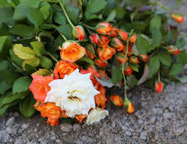 Bouquet of rose in ground Stock Photo