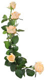 Bouquet of roses. Royalty Free Stock Photo