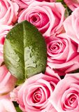Bouquet of roses. Rose (Rosa), a kind of flower which belongs to the rose-like family, includes over 200 species (according to some researchers up to a few stock photo