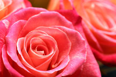 Bouquet of roses. Close-up image of bouquet of roses for Valentine's day Stock Image