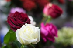 A bouquet of roses in the focus of the portrait lens in the evening romantic light royalty free stock image