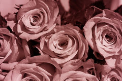 A Bouquet of Roses Stock Images