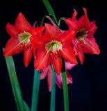 Bouquet rouge de lis d'isolement au-dessus du noir Photographie stock