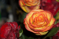 Bouquet rouge et orange de roses Photographie stock libre de droits