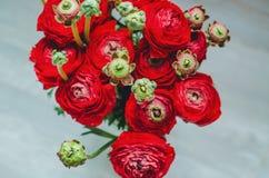 Bouquet rouge et vert de beau ressort de renoncule de ranunculus des fleurs sur un macro blanc de fond Photos libres de droits