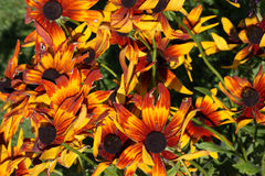 Bouquet rudbeckia. Lot of bright and colorful flowers of rudbeckia Stock Image