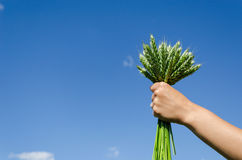Bouquet rye in hand woman on blue sky background Stock Photography