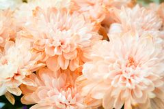 Bouquet of Salmon Color and White Chrysanthemum or Golden-Daisy. Close-Up royalty free stock photo
