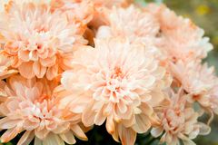 Bouquet of Salmon Color and White Chrysanthemum or Golden-Daisy. Close-Up stock image