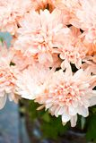 Bouquet of Salmon Color and White Chrysanthemum or Golden-Daisy. Close-Up stock photography